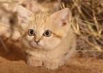 Gatto delle sabbie del sud del Marocco